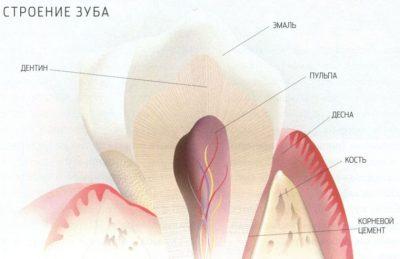 anatomia-zuba
